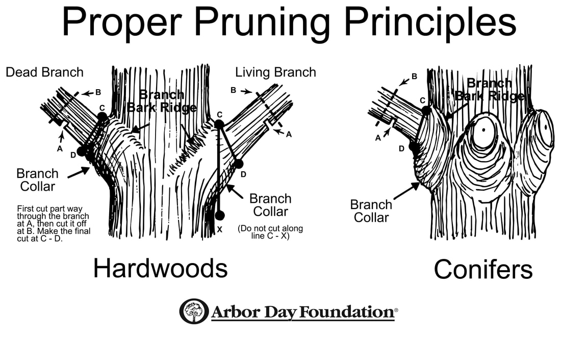 Arbor Foundation tree trimming guidelines