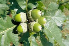 Close-up photo of oak tree acorns